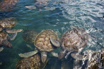 Boatswain's Beach & Cayman Turtle Farm