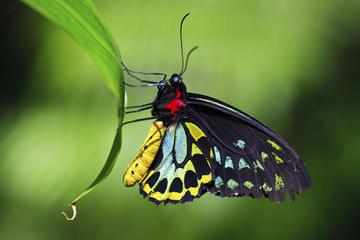 Australian Butterfly Sanctuary, Cairns