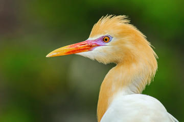 White Herons of Petulu