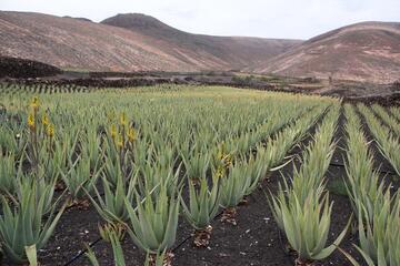 Aruba Aloe Factory & Museum