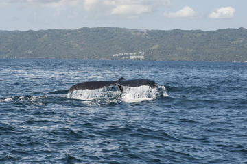 Whale Watching Tours in Samaná