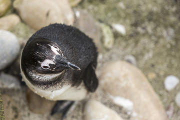 March of the Penguins: Phillip Island's Cutest Parade