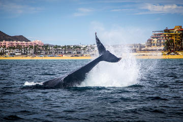 Whale Watching Tours in Los Cabos