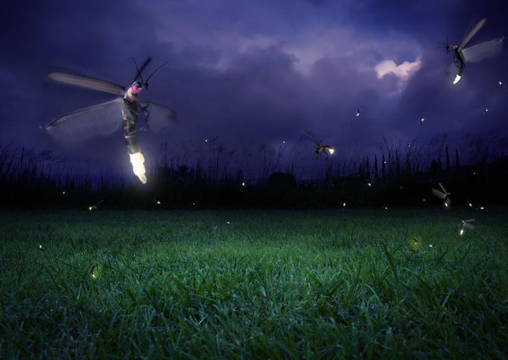Kuala Selangor Fireflies (Kampung Kuantan Firefly Park)