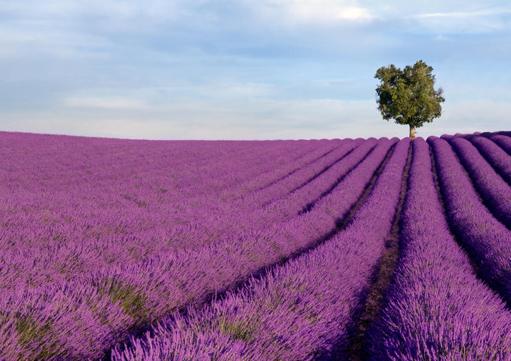 Lavender Fields Tours in Provence