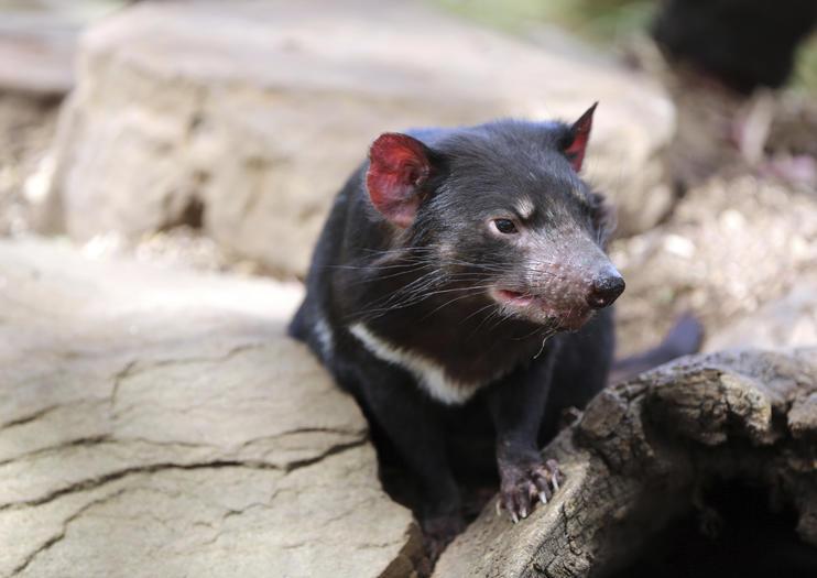 Tasmanian Devil Unzoo (Taranna Wildlife Park)