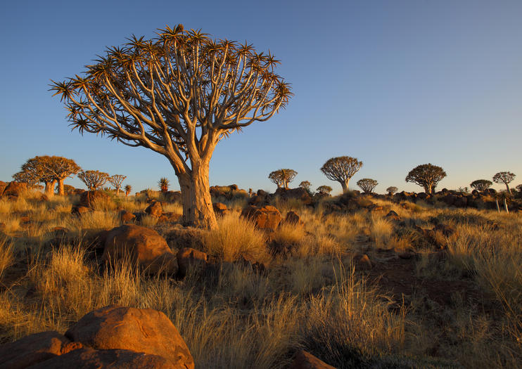 Quiver Tree Forest (Kokerboomwoud)