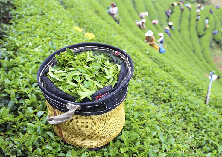 Gunung Mas Tea Gardens (Perkebunan Teh Gunung Mas)