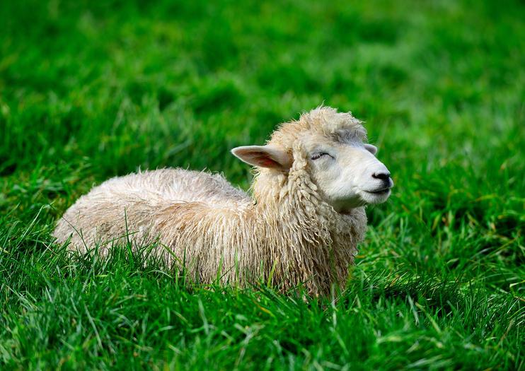 Ferme de moutons de Daegwallyeong