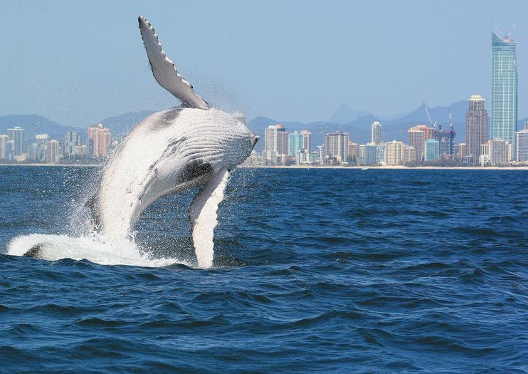 Whale Watching in Brisbane, the Gold Coast, and Hervey Bay