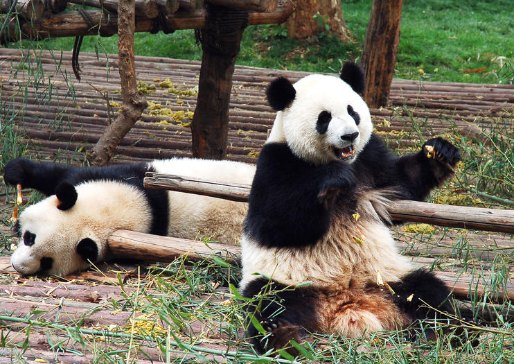 Centro de Panda Gigante de Dujiangyan