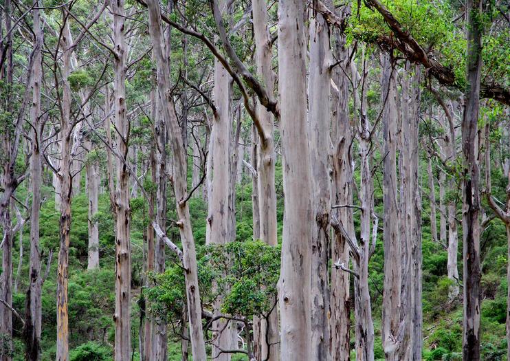 Boranup Karri Forest