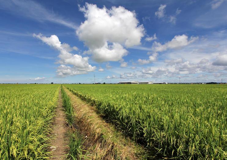 Sekinchan Paddy Fields (Sekinchan Padi Fields)