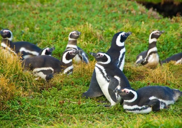 Penguin Colony of Otway Sound (Seno Otway)