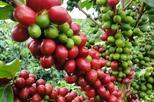Monteverde Coffee tour From La Fortuna