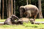 Excursão privada: Excursão de um dia ao Santuário e Orfanato de Elefantes saindo de Kuala Lumpur