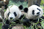 Half-Day Chengdu Panda Breeding Center Tour with Optional Baby Panda Holding