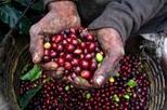 Excursão sobre café colombiano em Bogotá