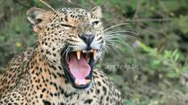 Special Leopard Safari Tour in Yala National Park by Malith & the team, Yala National Park,...