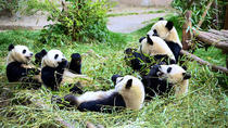 Full-Day Volunteer Tour of Dujiangyan Giant Panda Project, Chengdu, Nature & Wildlife