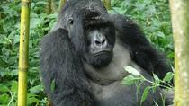 3 Days Gorilla and Golden Monkey Trek, Volcanoes National Park, Hiking & Camping