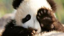 Half Day Chengdu Private Panda Tour, Chengdu, Cultural Tours