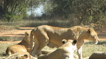Half-Day Lion Park Safari from Johannesburg, Johannesburg, Half-day Tours