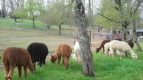 Alpaca Farm Tour at Apple Hill Farm, Boone