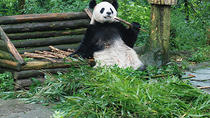 Giant Panda and Leshan Buddha Day Trip from Chengdu, Chengdu, Day Trips