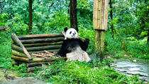 Giant Panda and Leshan Buddha Day Trip from Chengdu, Chengdu, Bus & Minivan Tours