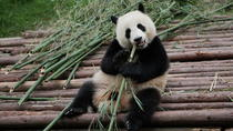 Half-Day Tour at Chengdu Panda Breeding Research Base, Chengdu, City Tours