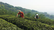 Mengdingshan Private Tea picking e Making Experience Day Tour com almoço local, Chengdu, Day Trips