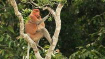Full-Day Orangutan and Proboscis Monkey Tour from Sandakan or Kota Kinabalu, Kota Kinabalu, null