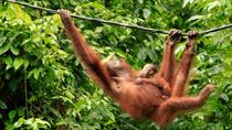Full-Day Orangutan Rehabilitation Centre and City Tour in Sandakan, Sandakan, Full-day Tours