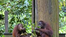 Full-Day Sepilok Orangutan e Sun Bear e Sandakan City Trail, Kota Kinabalu, Nature & Wildlife