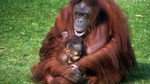 Half-Day Semenggoh Orangutan Centre Tour from Kuching, Kuching, Nature & Wildlife