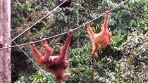 Semenggoh Orangutan Centre with Rainforest Walk from Kuching, Kuching, Nature & Wildlife