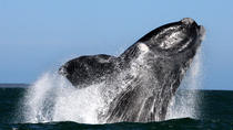 Whale Watching from Gansbaai, Hermanus