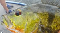 4-hour Miami Peacock Bass Fishing Trip, Miami, Fishing Charters & Tours