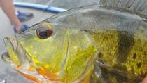 Half Day Miami Peacock Bass Fishing Trip, Miami, Fishing Charters & Tours