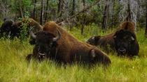 Mountain Buffalo Half-Day Tour from Yellowknife, Yellowknife, Day Trips