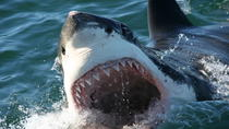 Shark Cage Tauch Tour in Gansbaai mit privaten Transfers von Kapstadt, Cape Town, Shark Diving