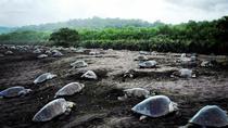Turtle Tour Near Samara Beach, Sámara, Nature & Wildlife