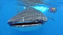 Tour all-inclusive con incontro con uno squalo balena a Cancun, Cancun, Dolphin & Whale Watching