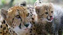 Ann Van Dyk Cheetah Centre Tour from Johannesburg or Pretoria, Johannesburg