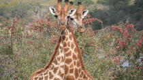 Pilanesberg Lion Safari, Gauteng, Cultural Tours