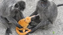 4 in 1 Day Tour Batu Caves Elephant Conservation Center Monkeys and Fireflies from Kuala Lumpur,...