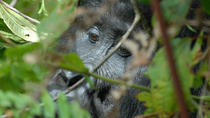 4 Days Fly - dans Gorilla Safari, Kampala, Private Sightseeing Tours