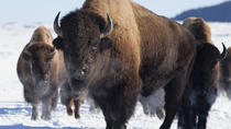 Winter Best of Jackson Hole Wildlife Safari, Jackson Hole, Half-day Tours