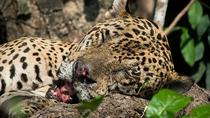 Jaguar Observation Tour (3 days - 2 nights), Cuiabá, Multi-day Tours